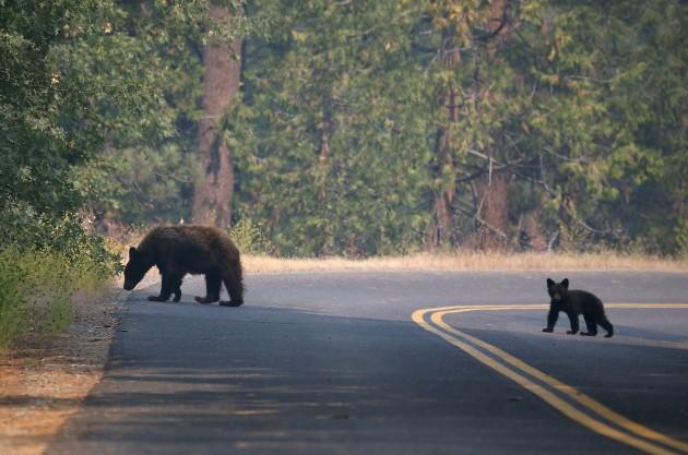Bears - Justin Sullivan/Getty Images